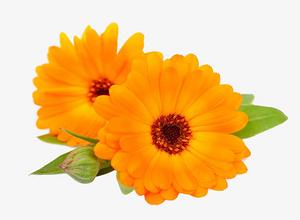 金盞菊花特寫圖片
