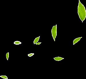手繪插畫有光澤的綠葉茶葉樹葉
