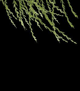 初春柳樹枝條免費素材下載