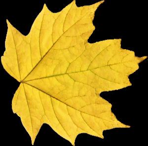 黃色秋天美麗楓葉