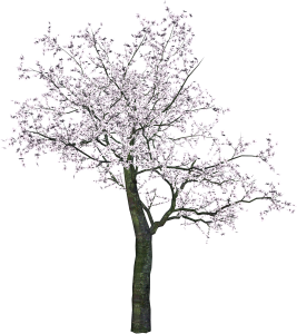 一棵粉色花朵大樹