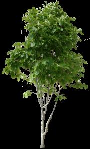 一棵庭院綠色小樹