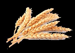 秋收黃色小麥麥穗